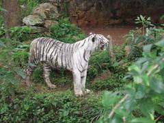 Sri Chamarajendra Zoological Gardens (dciandy) Tags: india zoo tiger mysore whitetiger whitebengaltiger mysorezoo srichamarajendrazoologicalgardens