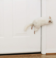 Bouncing Chinchilla (wisely-chosen) Tags: door playing june gimp chinchilla lightning leaping hopping picnik 2010 bouncing popcorning canonef70300mmf456isusmlens adobephotoshopcs4 canonspeedlite430exii pinkwhitechinchilla jumpingoffthewalls