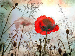 ..toward the sky... (MargoLuc) Tags: texture poppies theunforgettablepictures platinumheartaward magicunicornverybest magicunicornmasterpiece fleursetpaysages