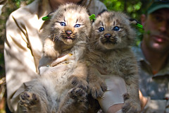 Two Canada Lynx Kittens (U. S. Fish and Wildlife Service - Northeast Region) Tags: canada me maine conservation habitat lynx usfws claytonlake fishandwildlifeservice canadalynx lynxcanadensis usfishandwildlife lynxkitten greatnorthwoods