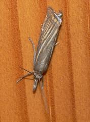 Garden Grass-veneer (Chrysoteuchia culmella) (bramblejungle) Tags: macro insect moth chrysoteuchia grassmoth culmella gardengrassveneer nationalmothweek