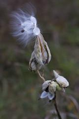Milkweed (ExpressEngine) Tags: ontario canada canon rebel xs concord milkweed