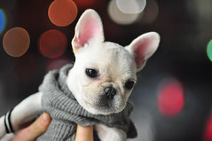Brie (JoelZimmer) Tags: dog animal puppy 85mm frenchbulldog brie 18 85mmf18 nikon85mmf18d nikond90 highqualitydogs