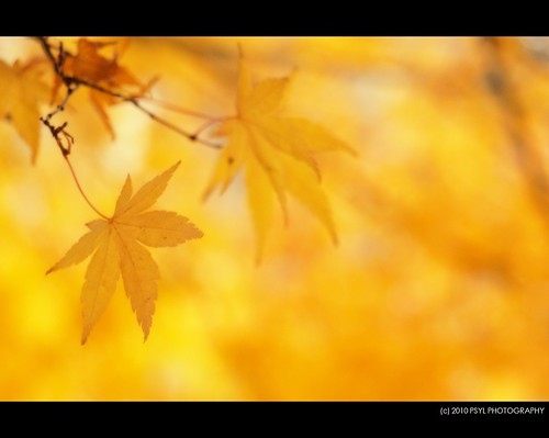 Maple in soft focus