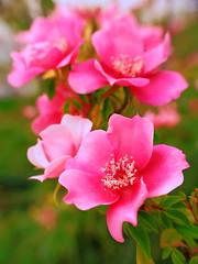 simple rose : Explore (M. TANIGUCHI) Tags: pink macro rose osaka excellence  abigfave impressedbeauty wowiekazowie topogigio2007