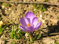 Crocus by phileole on Flickr