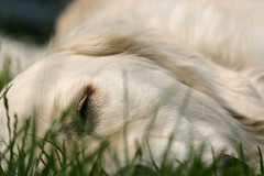The Dog Days of Summer (Jill's Junk) Tags: dog pet goldenretriever searchthebest priceless oneofakind explore cooper soe 040707 grandbaby naturesfinest blueribbonwinner interestingness281 supershot i500 flickrsbest beautifulcapture myfavouritephotographer mywinners abigfave shieldofexcellence anawesomeshot ultimateanimalphotography impressedbeauty superaplus aplusphoto agradephoto ultimateshot cpgroup irresistiblebeauty amazingshots superbmasterpiece lmaoanimalphotoaward excellentphotographeraward worthyofbeingsold flickrelite theartisticdog