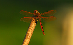 Red Dragonfly (Woolmarket100) Tags: red macro mississippi dragonfly farm fav15 woolmarket nikond200 nikon80400mmvr views200 views300 views25 views76100 views5075 impressedbeauty views101200