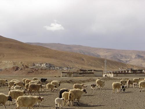 Gutzo casi llegando pastor y sus ovejas