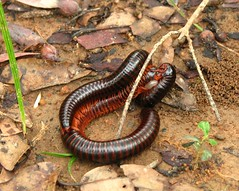 Procreating Millipedes (rohini_kamath) Tags: copyright nature canon insect is bangalore bugs s3 millipede rohini kamath ifornature rohinikamath