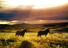 Sunrayhorses (Alliat) Tags: sky horses horse nature animal silhouette yellow clouds iceland sunray sunbeams slstafir superbmasterpiece superhearts platinumheartaward