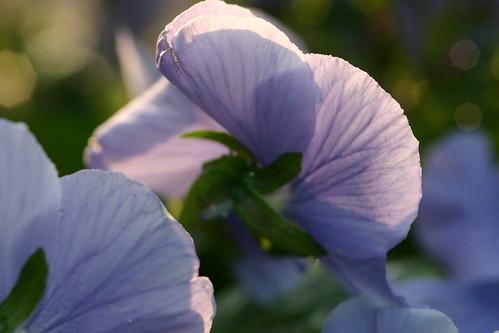 Pale Purple Pansies