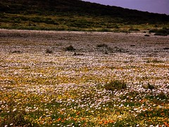 West Coast Wild Flowers (pennyeast) Tags: flowers wild plant flower nature landscape southafrica botanical scenery scenic capetown wildflowers plantae wildflower westcoast indigenous fynbos southafrican cfr westerncape postberg nativetosouthafrica august2007 papaalphaecho