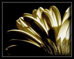 The Crown of a Princess (Kirsten M Lentoft) Tags: fab flower macro sepia bravo searchthebest gerbera soe excellence naturesfinest blueribbonwinner supershot flowerotica outstandingshots mywinners anawesomeshot momse2600 goldenphotographer diamondclassphotographer frhwofavs theperfectphotographer kirstenmlentoft