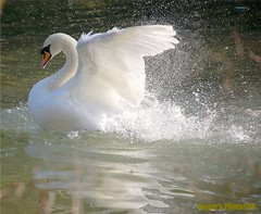 Getting In A Lather (Roger's Photos59) Tags: nature birds cornwall searchthebest wildlife ngc swans imagination sensational 1001nights et legacy ih goldenglobe blueribbonwinner naturescall thegalaxy amazingtalent featheryfriday naturepeople magicofnature passionphotography beautifulexpression fowlfea
