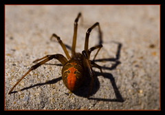 Sunbathing redback (NavindaK) Tags: red macro closeup canon insect spider back australia 100mm explore canberra eos350d venomous redback 100mmf28macrousm top20spiders buzznbugz explore294on080907