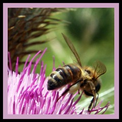 busy as a B (paloetic) Tags: flowers nature wings bees flight bee pollen honeybee beehive scotchthistle insectsandspiders lifeonafarm