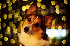 eyebrow dog (moaan) Tags: dog digital 50mm lights corgi eyes nightlights dof bokeh weekend illuminations utata welshcorgi eyebrows 2010 f12 roundeyes rd1s pochiko epsonrd1s thelittledoglaughed konicahexanon50mmf12 konicamhexanon iwishyouhaveahappyweekend gettyimagesjapanq1 gettyimagesjapanq2