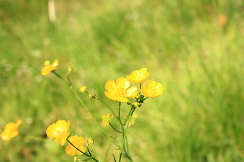 Buttercup Meadow in Yorkshire