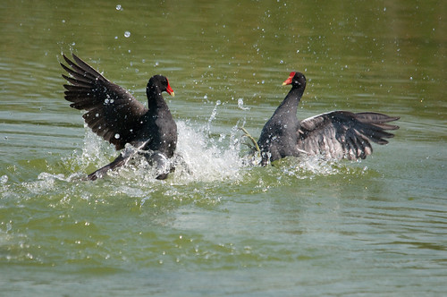 Common Moorhen Fighting