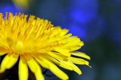 smiling to the sun (Globetrotter_J) Tags: blue sun flower nature smile yellow happy different dof