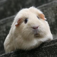 Guinea Pig Neuter