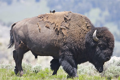 Bison with Cowbirds