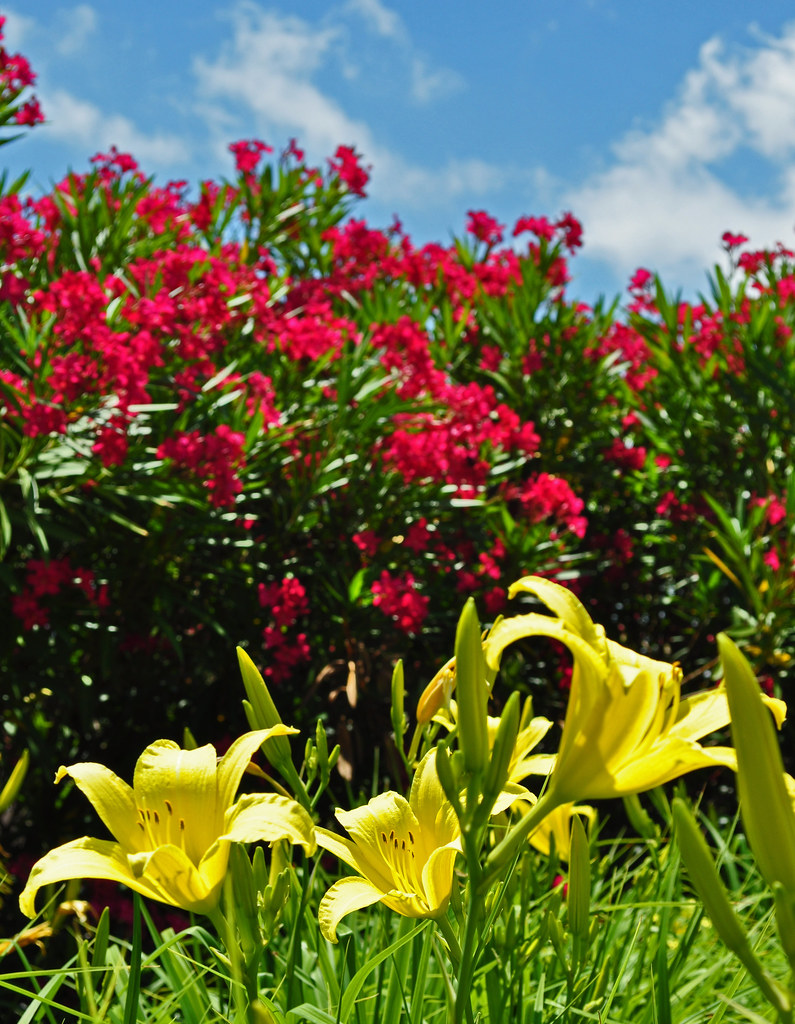 Oleander and Daylilies