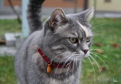 SGUARDO FELINO (isolina7) Tags: italy cat italia gatto micio animalidacompagnia animalidomestici sguardofelino isolina7