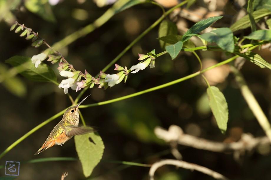Allen's Hummingbird 111710