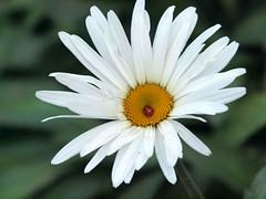 Daisy and Ladybird (saxonfenken) Tags: november white flower macro insect dof daisy ladybird gamewinner 6988 challengewinner nov18th friendlychallenges thechallengefactory yourockunam herowinner pregamewinner 6988flowers