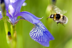 Busy Bee (*sarah b*) Tags: iris motion flower macro nature flying bee coolest getyou interestingness136 i500 flowerotica impressedbeauty aplusphoto