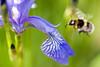Busy Bee (*sarah b*) Tags: iris motion flower macro nature flying bee coolest getyou interestingness136 i500 flowerotica impressedbeauty aplusphoto
