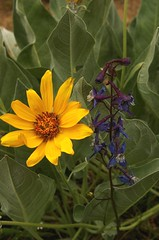 balsamroot and larkspur