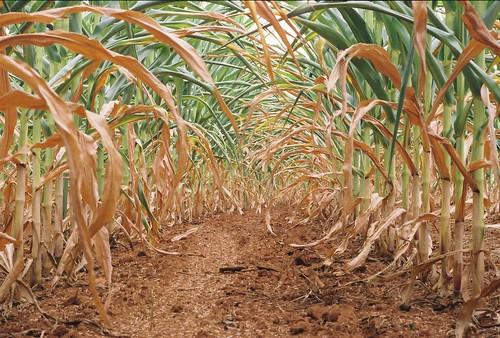 Drought, Cornfield