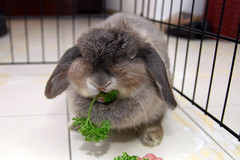 parsley munching is a difficult business 2 (jade_c) Tags: pet rabbit bunny animal mammal singapore parsley opal  hollandlop andora  lagomorph opalhollandlop englishparsley parsleymonster