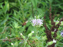 Clearwing moth and bee balm