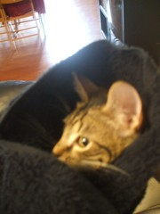 DSCF0694 (fadingembers) Tags: animals kitties bruiser bigpurplehouse