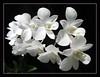Lovely stalk of Dendrobium 'White Pagoda'