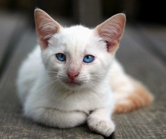 Baloo (Boered) Tags: blue white cat eyes kitten snowy clarence baloo cc300 kissablekat loveofthefelineprizegallery