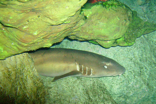 A hidden Nurse Shark