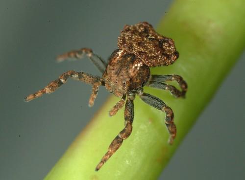 Crab spider (Boliscus tuberculata)