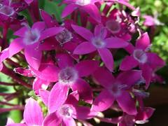 Fiori rosa (Pecky48) Tags: flower rosa fiori fiorirosa fiorellini rosashoking