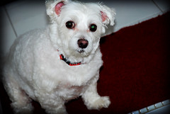 Buffy - Waiting for Mommy (Os Sutrisno) Tags: dog white furry buffy myfacebook