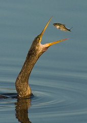 Anhinga with fish (vanessa hilliard) Tags: fish feeding florida d2x prey anhinga naturesfinest blueribbonwinner 600mm instantfave flickrsbest specanimal naturesgallery anawesomeshot superbmasterpiece avianexcellence diamondclassphotographer excapture thatsbostin vanhilliard 600mm14x