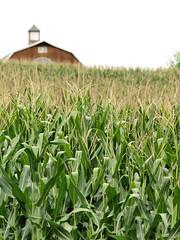Jersey Corn At Kerr Road & Route 94 (Blairstown, NJ) (takomabibelot) Tags: field barn newjersey corn farm cupola warrencounty blairstowntownship puddingstonefarm kerrroad njstateroute94