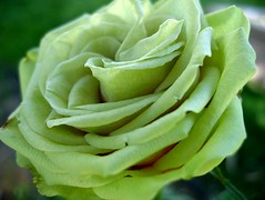 Green Miniature Rose 1 (LongInt57) Tags: flower macro green rose miniature naturesfinest top20green ishflickr top20greenish