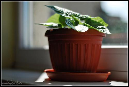 Small habanero plant 2