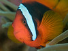 Tomato anemonefish_PCF6526 (Paul Flandinette) Tags: ocean nikon underwater philippines sealife cebu anemonefish marinelife oceanlife underwaterphotography moalboal amphiprionfrenatus tomatoanemonefish beautifulfish paulflandinette