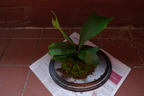 soaking the staghorn fern